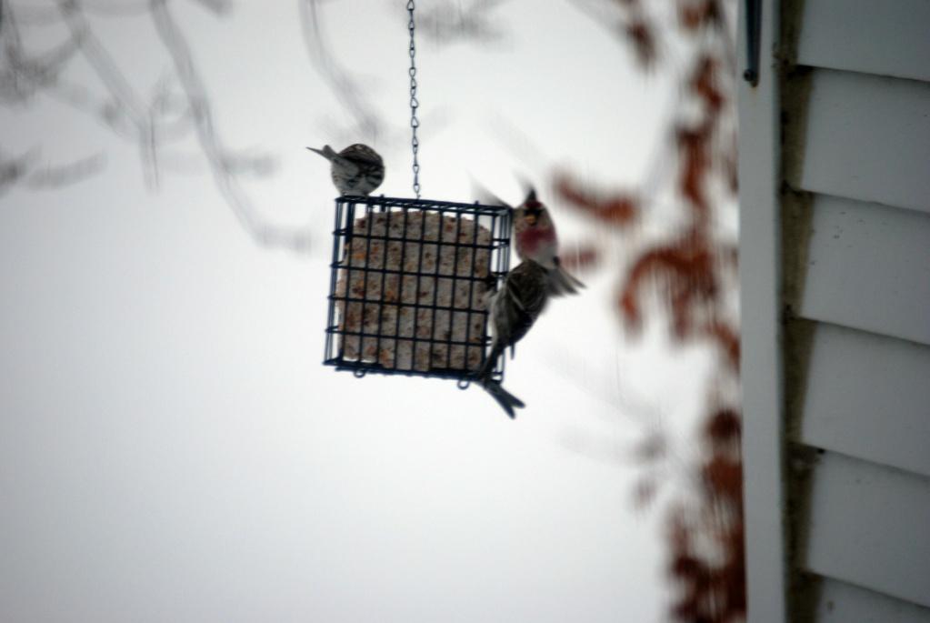 P'tits nouveaux Oiseau14