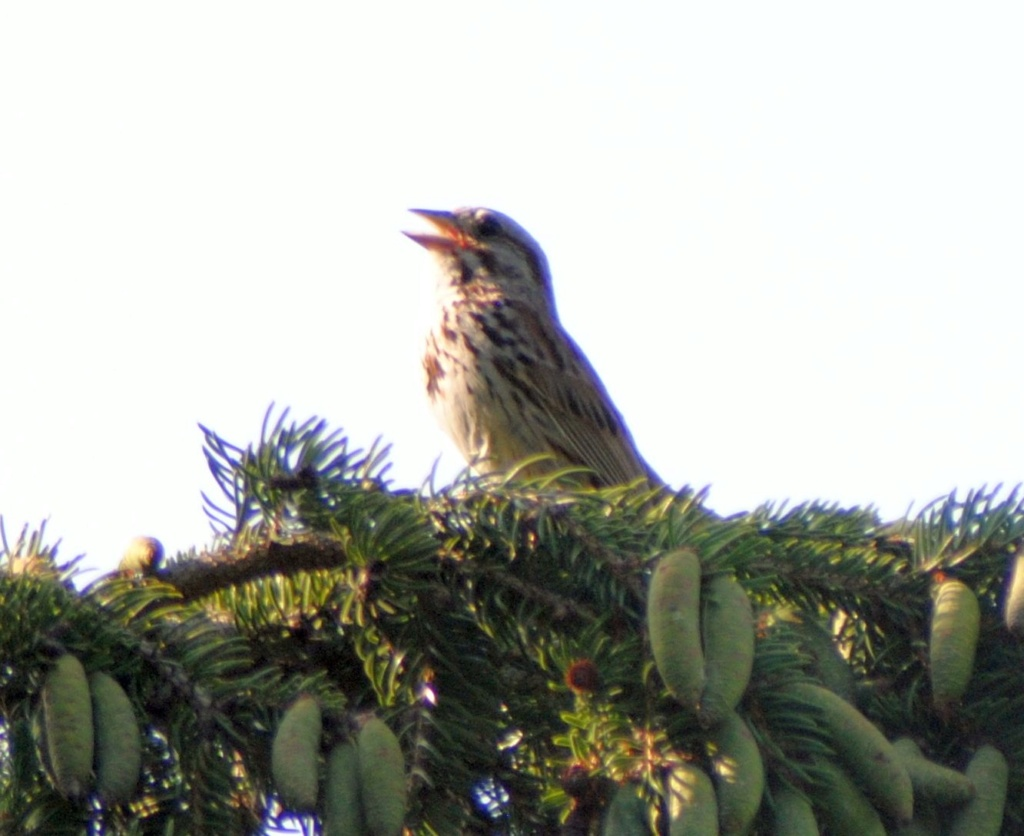 Oiseau chanteur Oiseau16