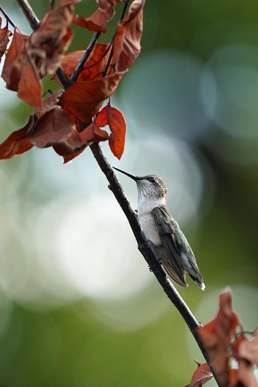 Colibri mâle immature , dernière visite avant le grand voyage! 2019_048