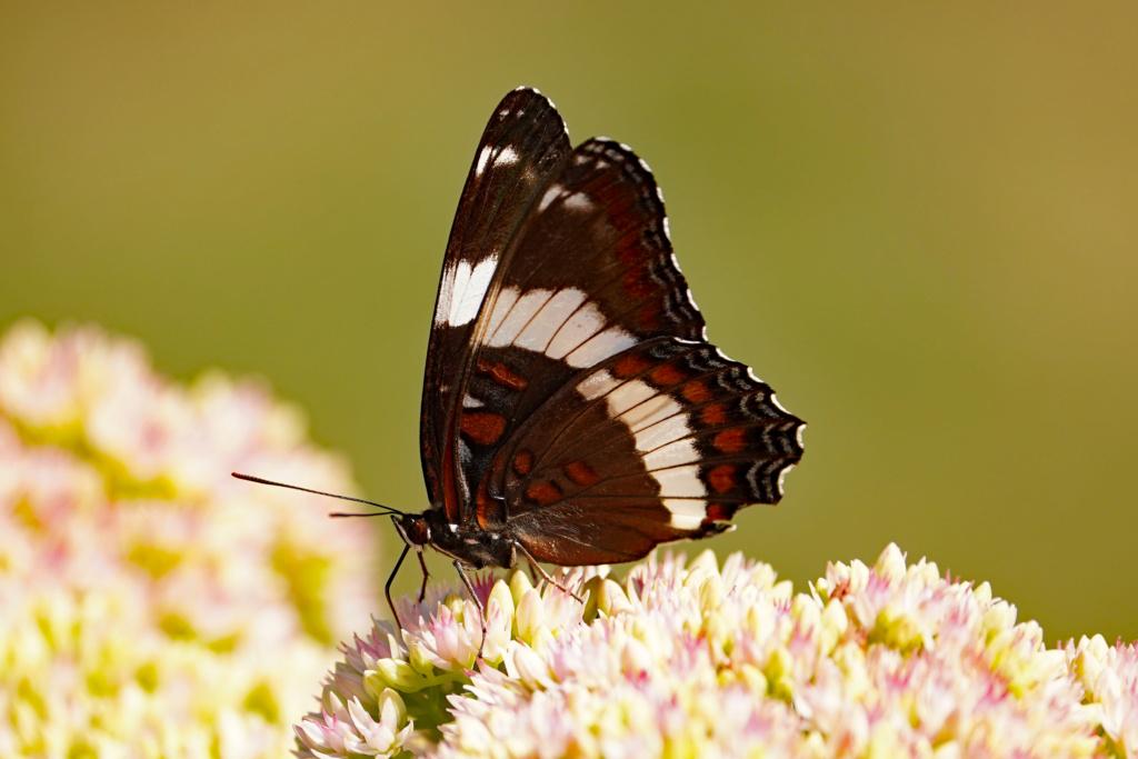 Papillon..Petite douceur de la nature... 2019_057