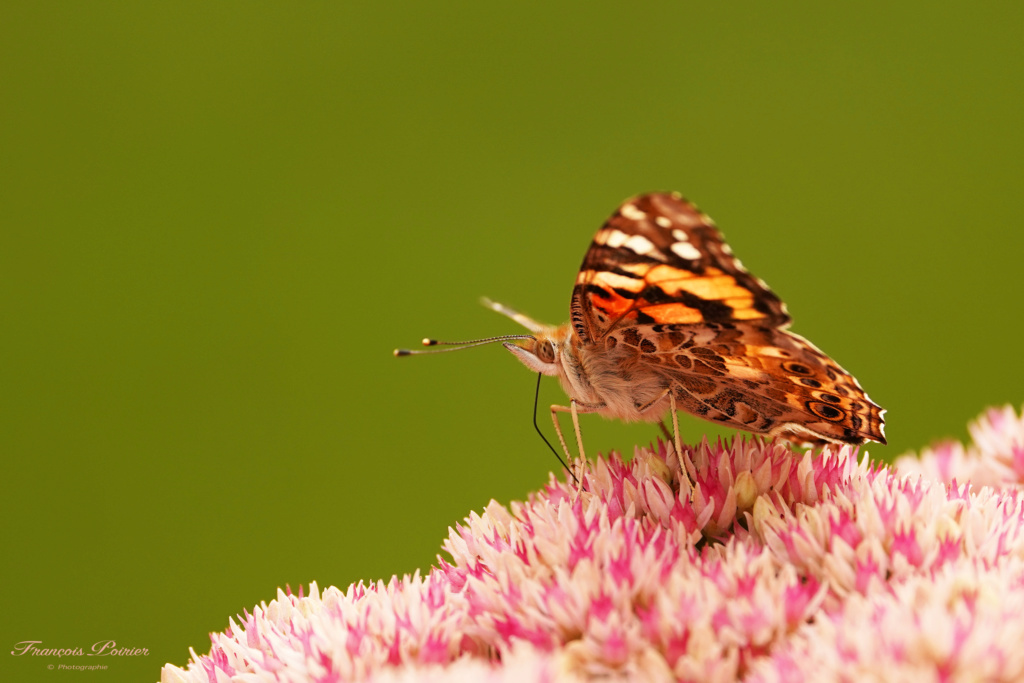 Papillon 2019_061