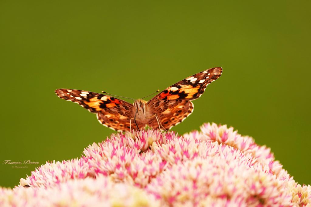 Papillon 2019_062