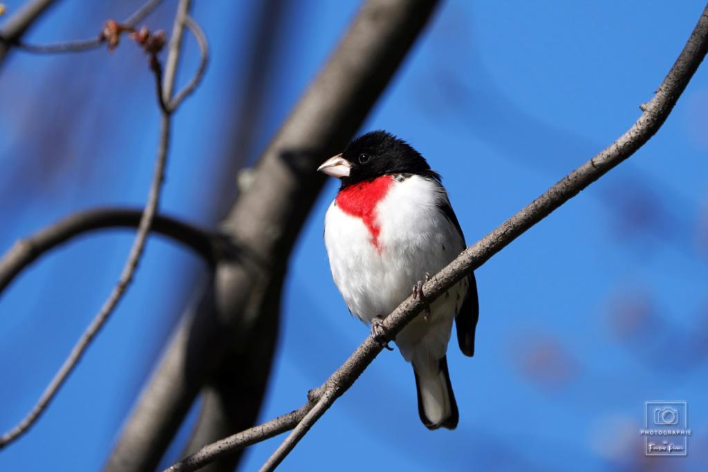 Cardinal à poitrine rose  2020_017