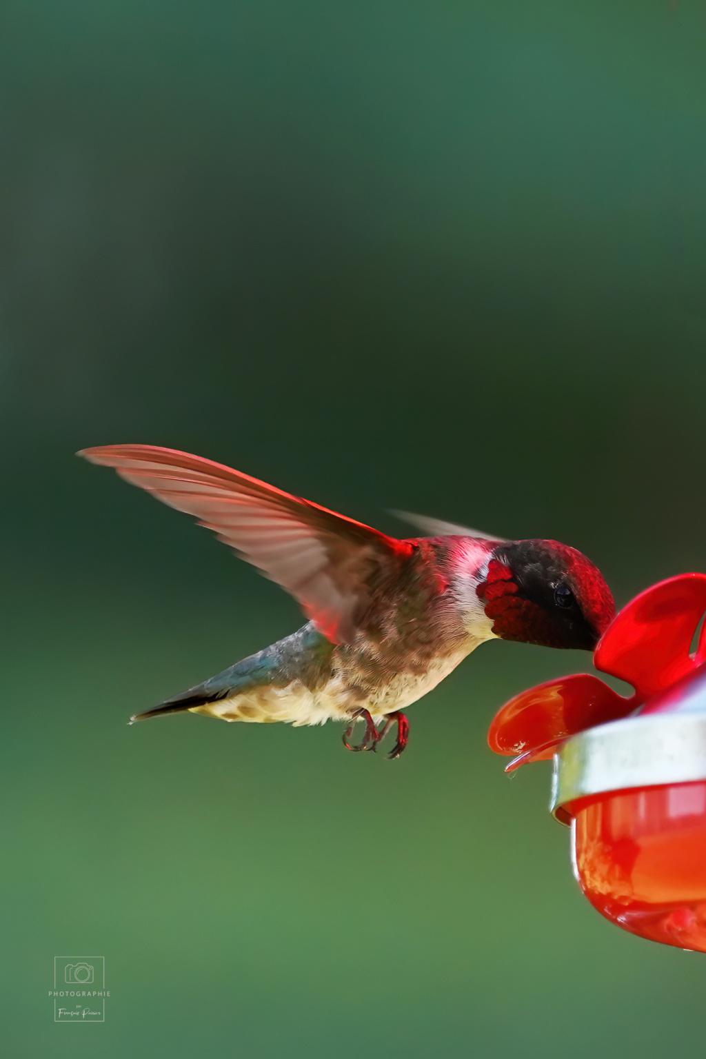 Colibri mâle éclairé via l'abreuvoir rouge... 2020_024