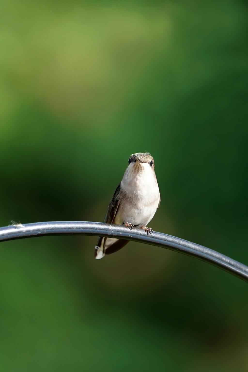 Colibri mâle éclairé via l'abreuvoir rouge... 2020_030