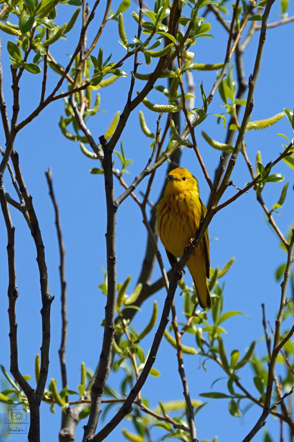 Paruline jaune et flamboyante Dsc02012
