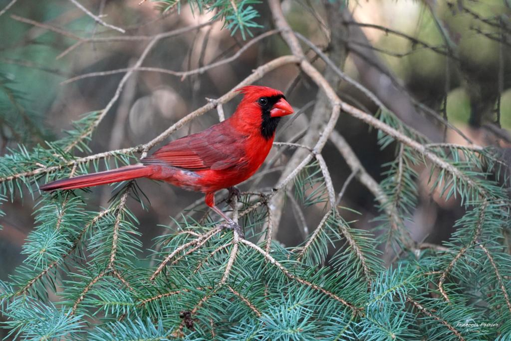 Cardinal qui me fait des poses... Dsc04912