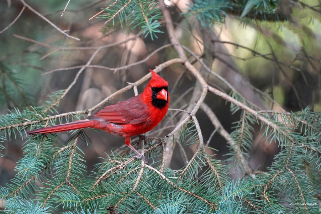 Cardinal qui me fait des poses... Dsc04913