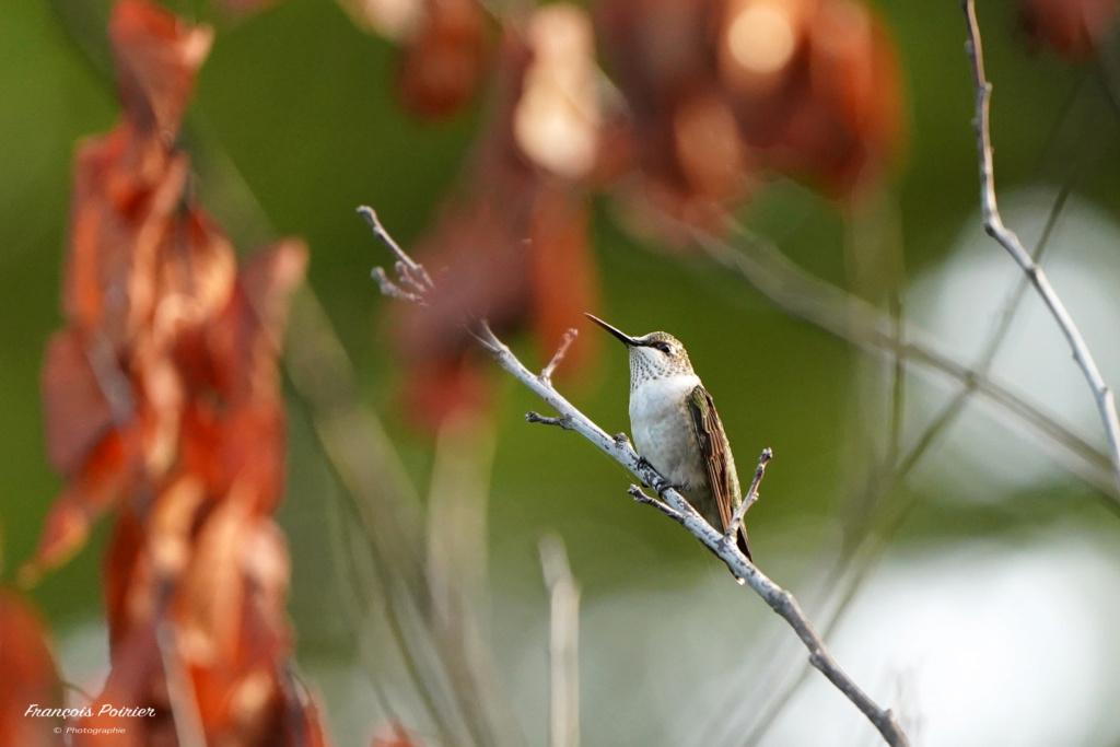 Colibri mâle immature au repos! Dsc07112