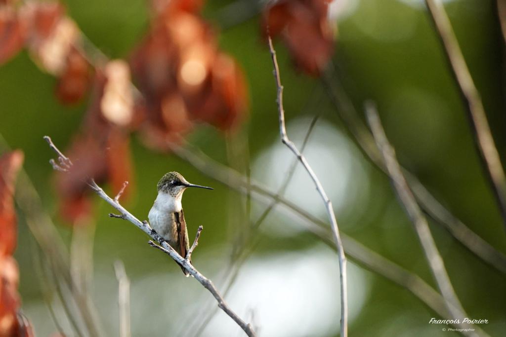 Colibri mâle immature au repos! Dsc07210