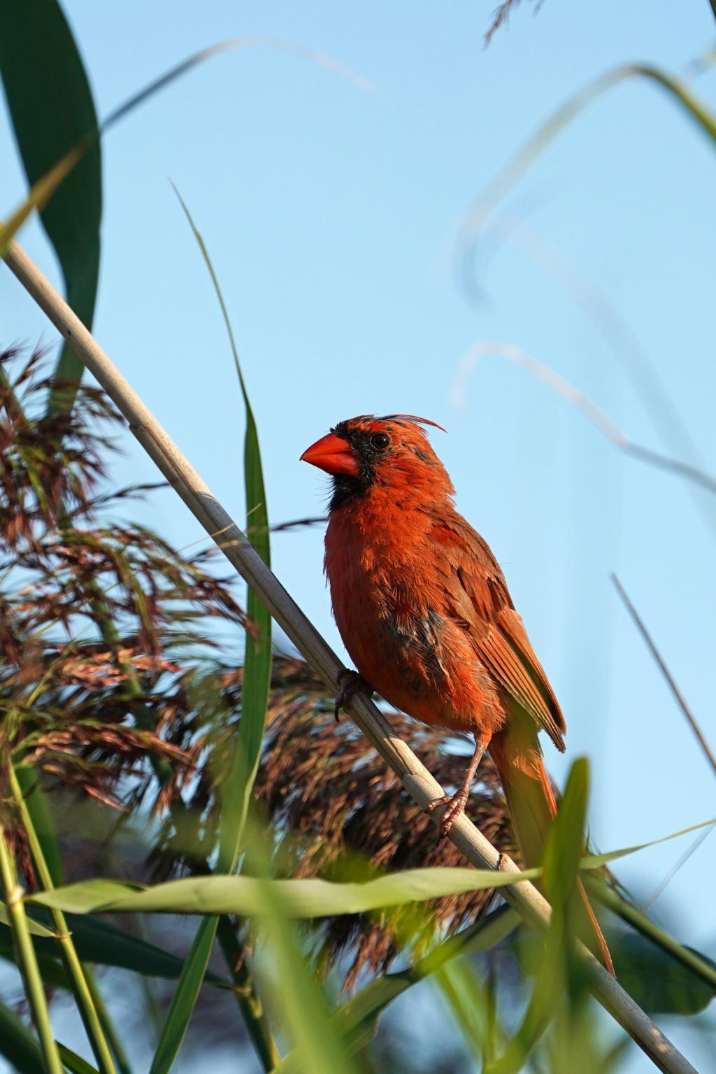 Cardinal dans les roseaux Dsc09111