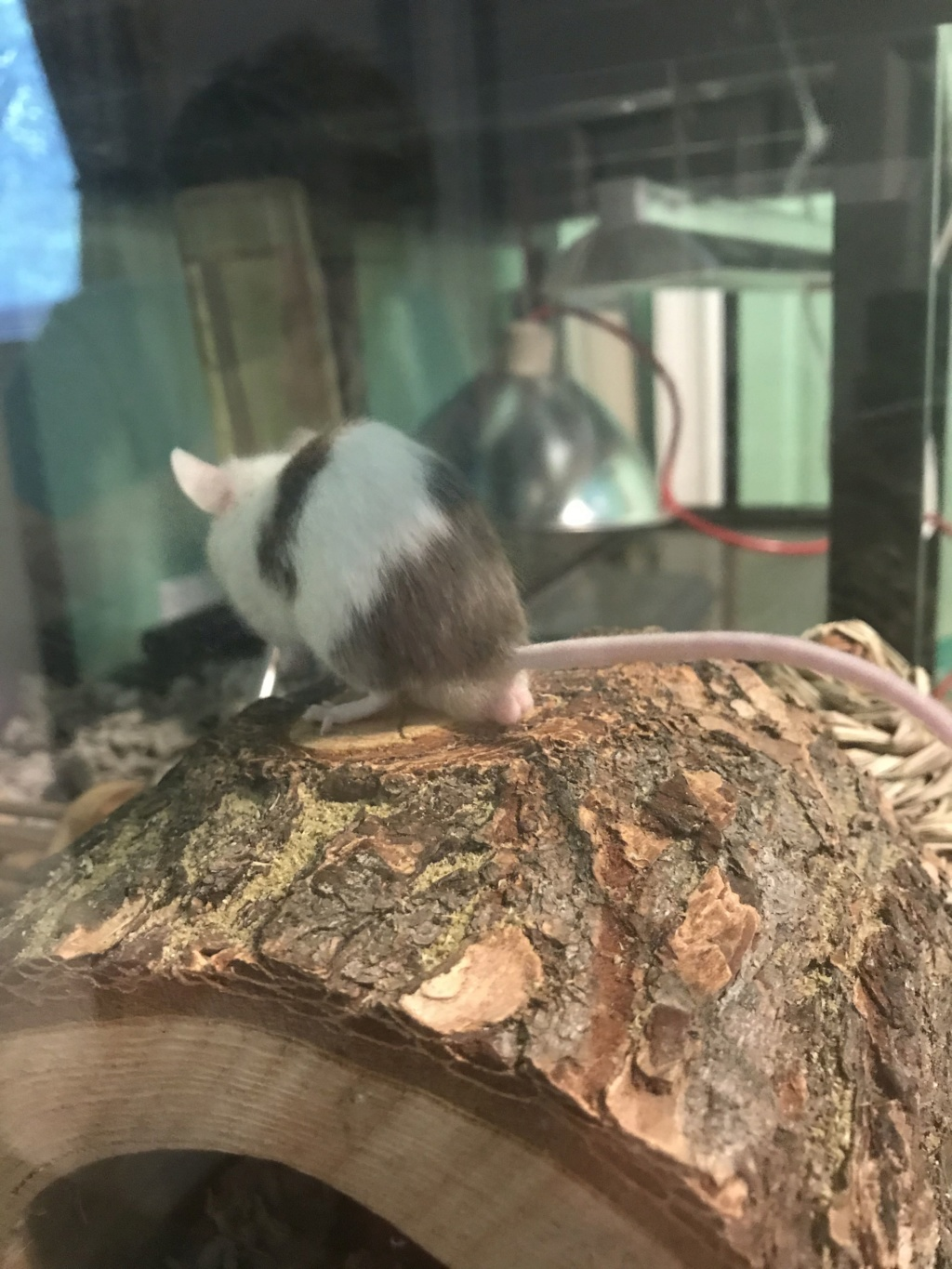 HELP! Suspicious growth/swelling of/near mouse testicles Snapch12