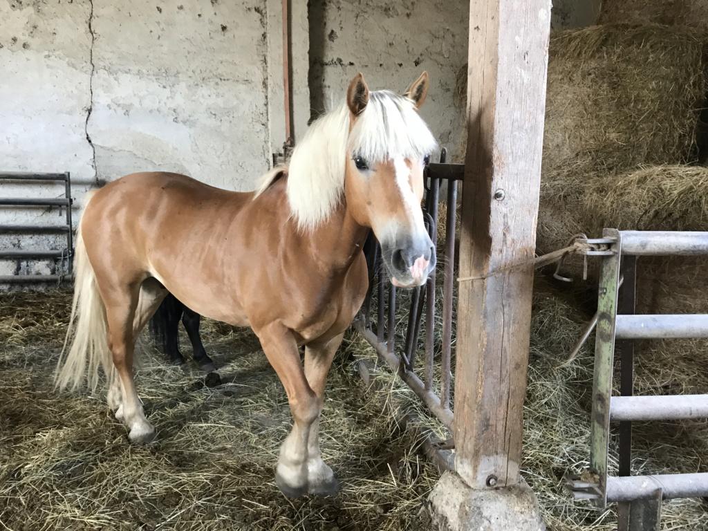 ISA ESPERANCE - poney Haflinger née en 1996 - adoptée en juillet 2017 par sonia et Olivier Isa_es45