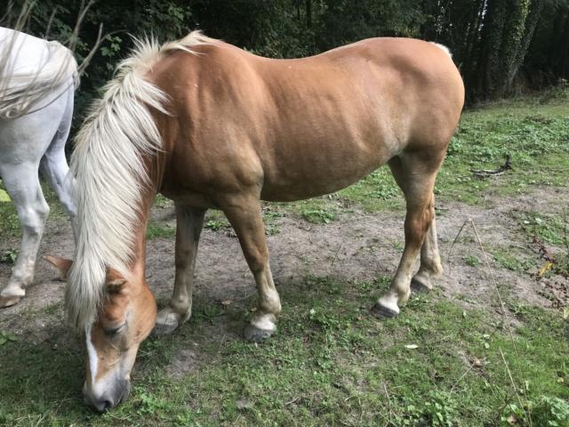 ISA ESPERANCE - poney Haflinger née en 1996 - adoptée en juillet 2017 par sonia et Olivier Isa_es76