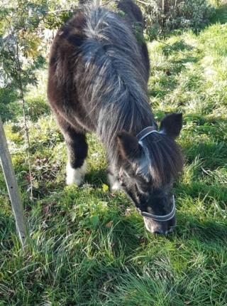 TANGO - OI Poney typé Shetland né en 1985 - adopté en juillet 2009  Tango_34
