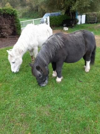 ULYSSE - OI Poney typé Shetland né en 1984 - adopté en juillet 2009  Ulysse32