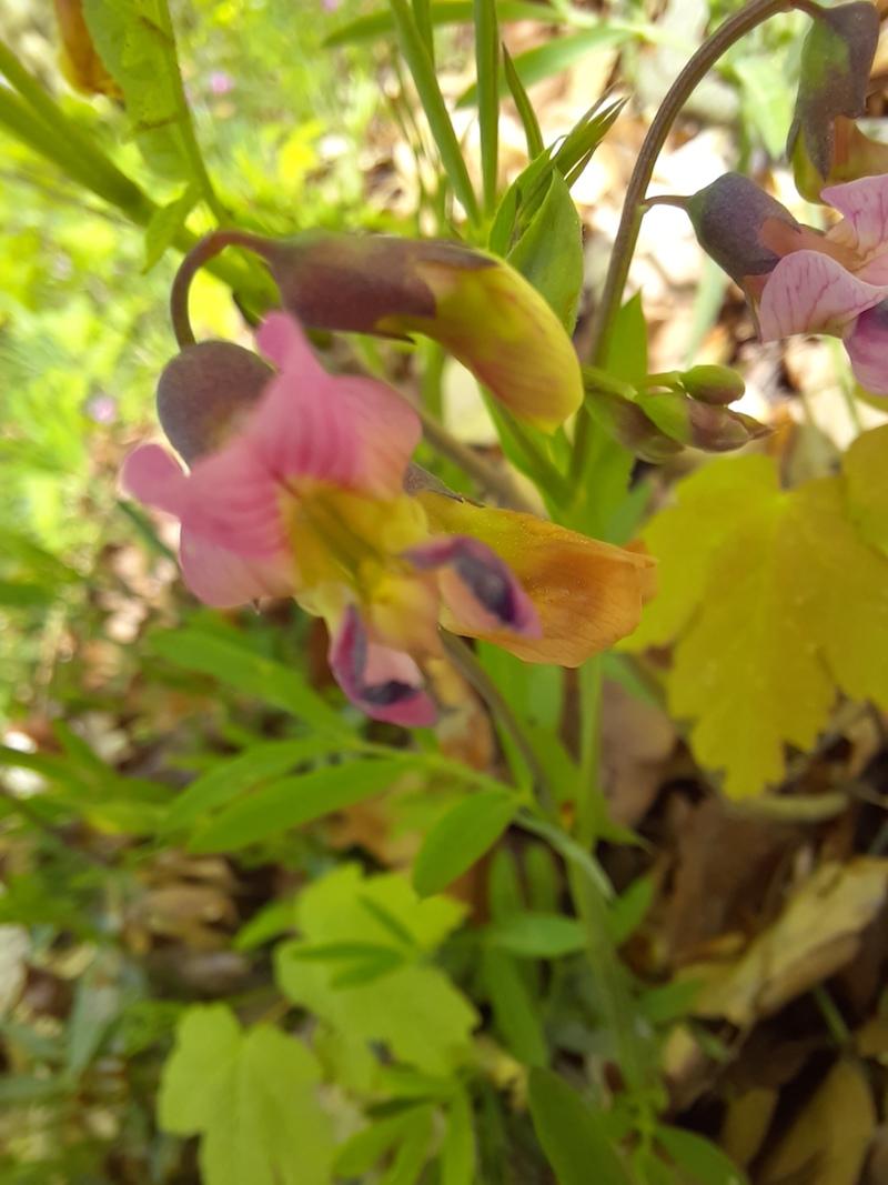 Rosa schillernde Blüten im Wald Unbeka11