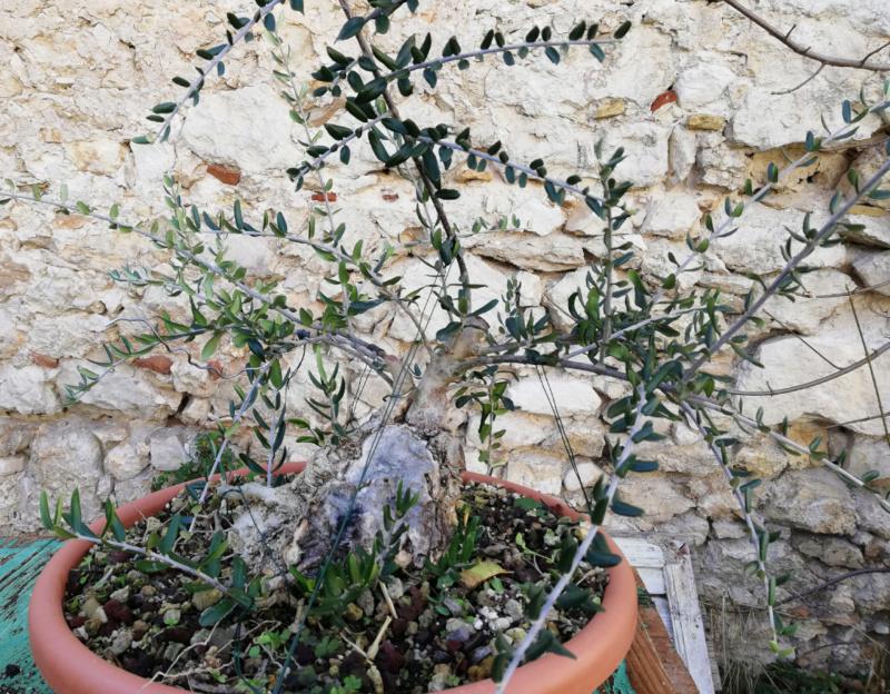 Lavorazione del secco di olivastro: sabamiki o cos'altro? Olivas12