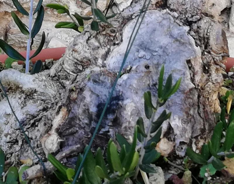 Lavorazione del secco di olivastro: sabamiki o cos'altro? Partic12