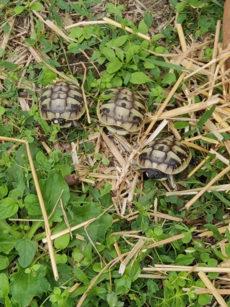3 petites hermanni boettgeri Img_2038