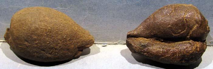 Cypraea sp? du Santonien supérieur de Corbières G610