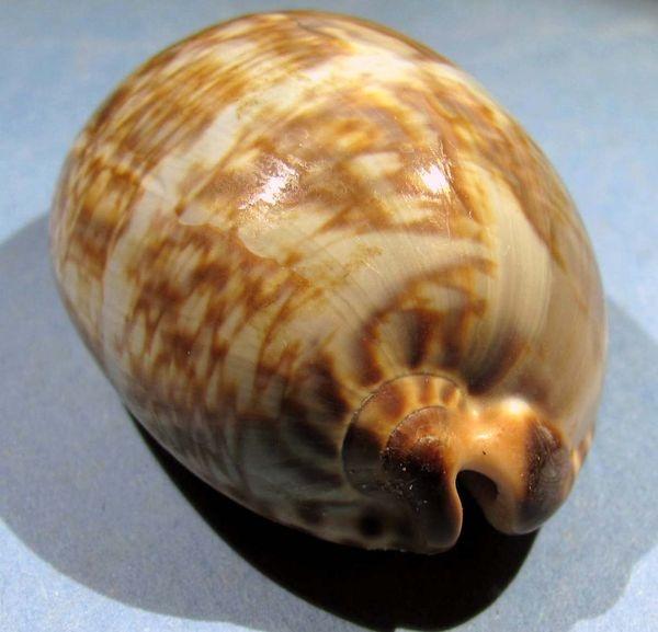 [résolu]Cypraea eglantina (Duclos, 1833) Img_1432