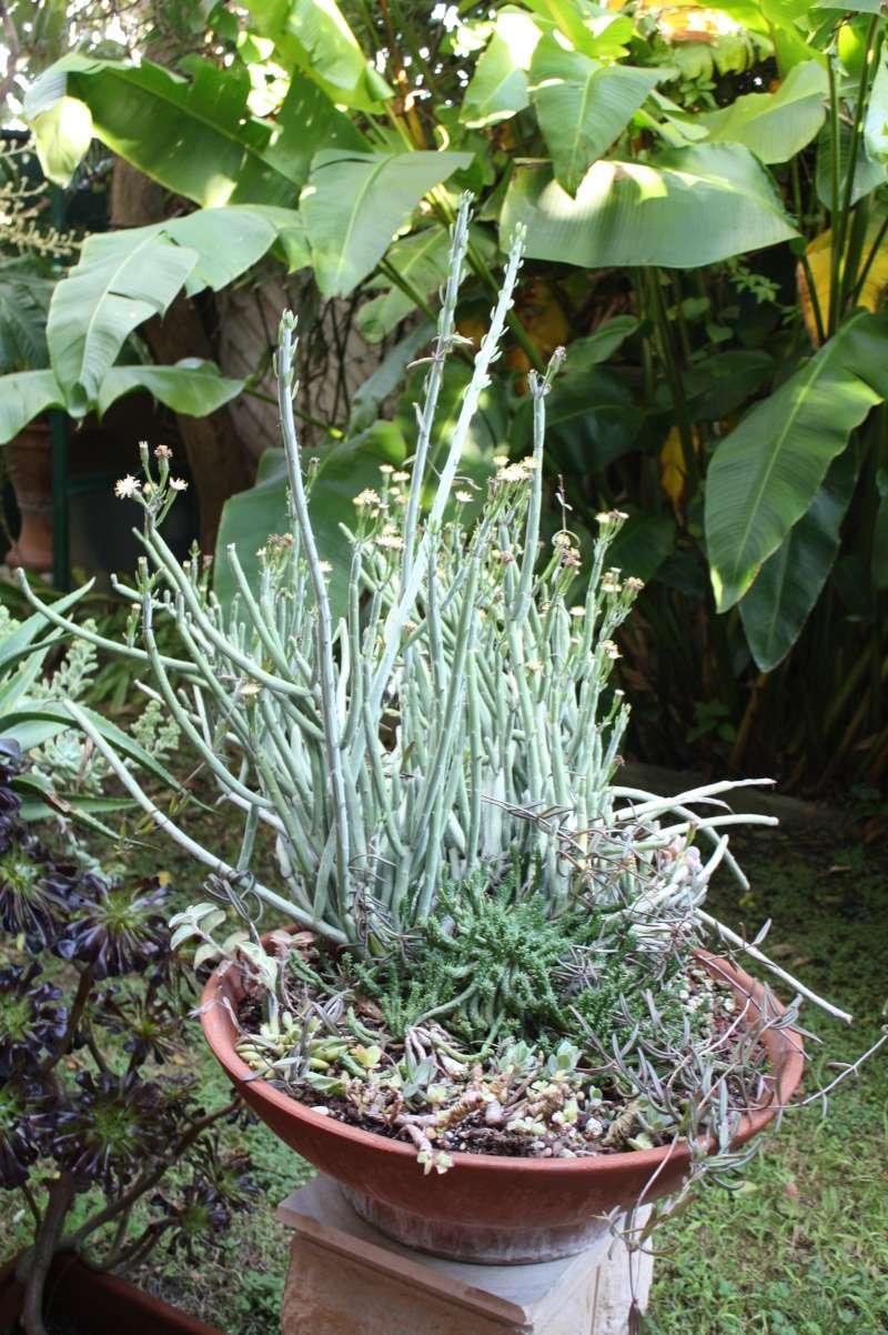 Senecio anteuphorbium en pleine floraison Seneci11
