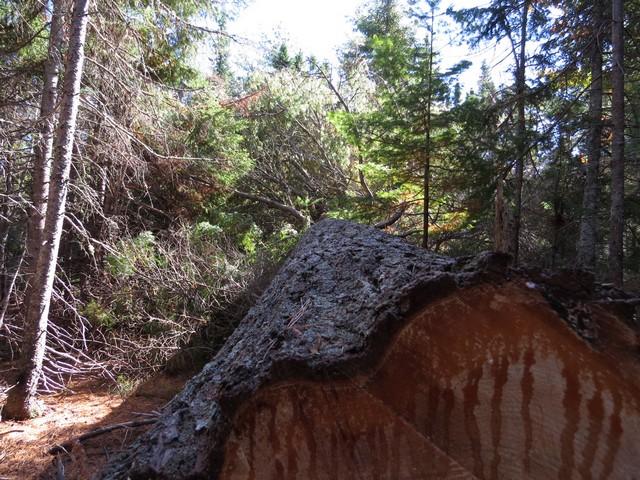43 - les troncs d'arbres.... Le vote 11-img10