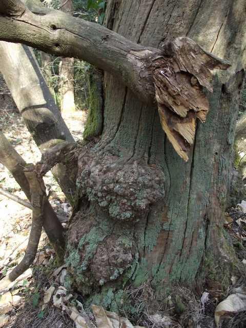 43 - les troncs d'arbres.... Le vote - Page 4 22-jan10
