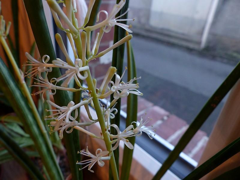 sansevieria grandiscupis P1080910