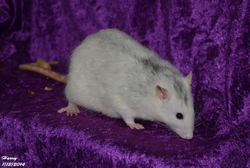 Les ratous de breizhael - 3eme génération - Page 2 Dsc_0512