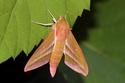 Deilephila elpenor (Linné, 1746) Deilep12