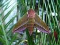 Deilephila elpenor (Linné, 1746) Deilep17