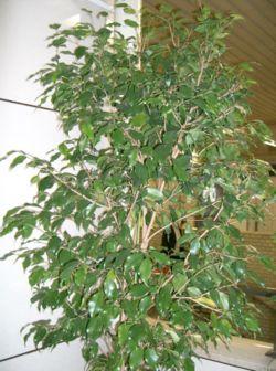 Plantes adaptées aux terrariums tropicaux humides 250px-10