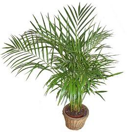 Plantes adaptées aux terrariums tropicaux humides Areca10