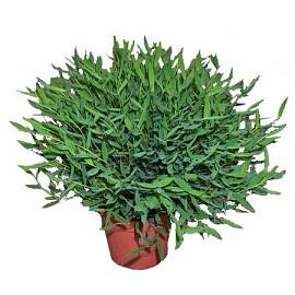 Plantes adaptées aux terrariums tropicaux humides Bambou10