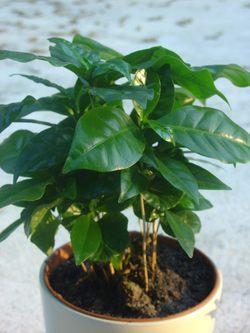 Plantes adaptées aux terrariums tropicaux humides Cafeie10