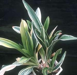 Plantes adaptées aux terrariums tropicaux humides Deta-110