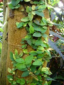 Plantes adaptées aux terrariums tropicaux humides Ficus-10
