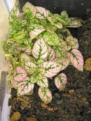 Plantes adaptées aux terrariums tropicaux humides Fitton11