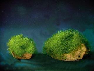 Plantes adaptées aux terrariums tropicaux humides Floraq10