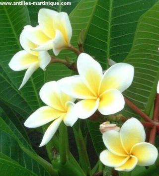 Plantes adaptées aux terrariums tropicaux humides Frangi10