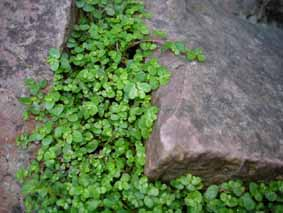 Plantes adaptées aux terrariums tropicaux humides Helixi10