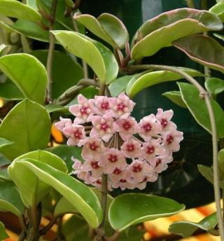 Plantes adaptées aux terrariums tropicaux humides Hoya_r10