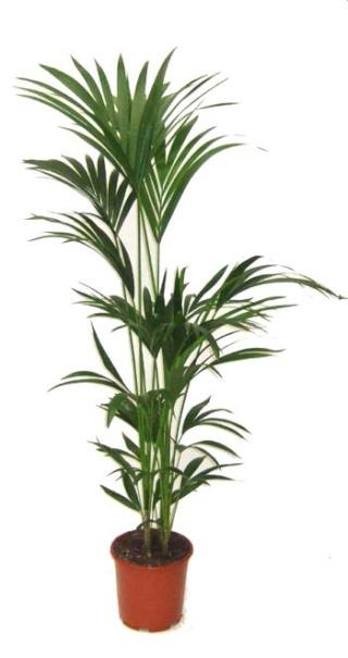 Plantes adaptées aux terrariums tropicaux humides Kentia10