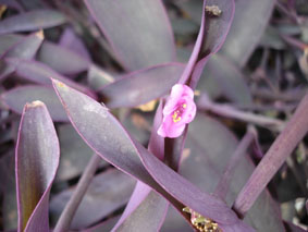Plantes adaptées aux terrariums tropicaux humides Misere10