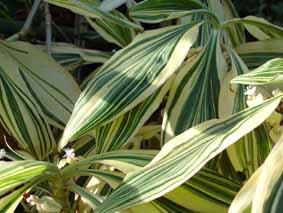 Plantes adaptées aux terrariums tropicaux humides Misere11