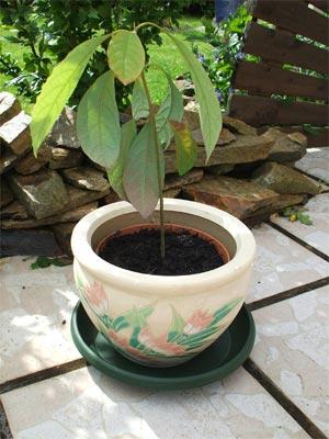 Plantes adaptées aux terrariums tropicaux humides Mon-av10
