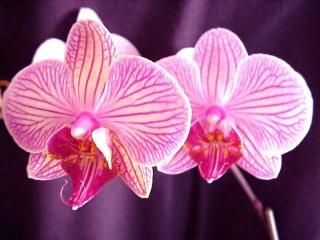 Plantes adaptées aux terrariums tropicaux humides Orchid11