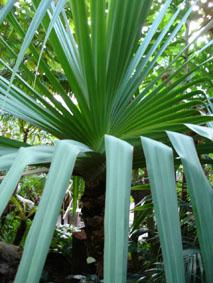 Plantes adaptées aux terrariums tropicaux humides Pandan10